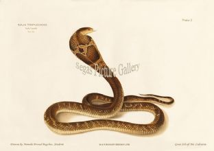 Indian cobra, Naja tripudianus var. Dudia Keautiah